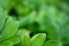 Beautiful Green leaf as background and texture.  Stock Images