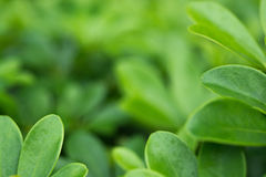 Beautiful Green leaf as background and texture.  Royalty Free Stock Photography