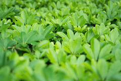 Beautiful Green leaf as background and texture.  Royalty Free Stock Photo
