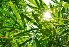 Beautiful green leaf bamboo background and sun light Royalty Free Stock Photography