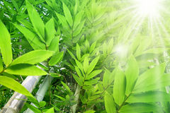 Beautiful green leaf bamboo background and sun light Royalty Free Stock Photos
