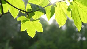Beautiful green leaf on branch of tree with sun backlighting stock video footage