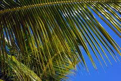 Beautiful green leaf of coconut tree against the blue sky. stock photo