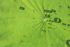 Beautiful green leaf with drops of rain Royalty Free Stock Image
