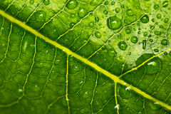 Beautiful green leaf with drops of water background Royalty Free Stock Image