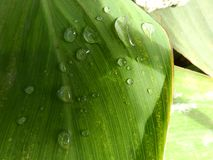 Canna Leaf Water Drops,green leaf dew plant stock photo