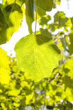 Beautiful green leaf illuminates the bright sunlight Royalty Free Stock Photography