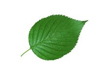 Beautiful green leaf isolated on white Royalty Free Stock Photo