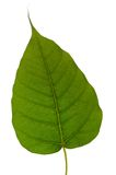 Beautiful green leaf isolated on white Stock Image