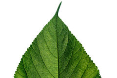 Beautiful green leaf isolated on white Stock Photos