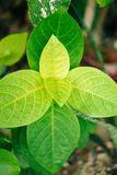 Beautiful green leaf plant in the nature Stock Photography