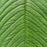 Beautiful green leaf texture as background Stock Photography