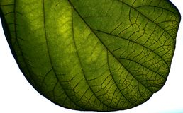 Green Leaf of a Tree Natural Background Photograph. A beautiful green leaf of a tree natural background photograph Royalty Free Stock Photography