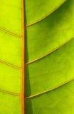 Beautiful green leaf Royalty Free Stock Photos