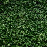 Beautiful Green leaf wall and background.  royalty free stock images