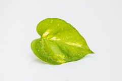Beautiful green leaf with water drops. Beautiful green leaf with water drops on white background Royalty Free Stock Images