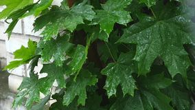 Beautiful green leafs of a maple tree with rain falling on them stock footage