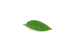 Beautiful green leave isolated on white Royalty Free Stock Images