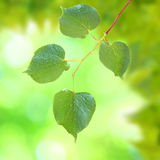 Beautiful green leaves Royalty Free Stock Photos