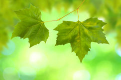 Beautiful green leaves Stock Photo