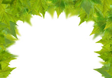 Beautiful green leaves Stock Images