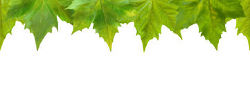 Beautiful green leaves Royalty Free Stock Photo