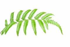 Beautiful green leaves isolated on white background royalty free stock photos