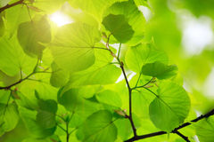 Beautiful green leaves Stock Image