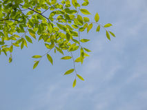 Beautiful green leaves against the sky Royalty Free Stock Photos