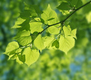 Beautiful green leaves on bright sun Stock Images