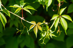 green leaves in bright sunlight Stock Image