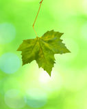 Beautiful green leaves with green background in sp Stock Images