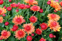 Gorgeous red-orange flowers with some petals open and others just budding under warm Summer sun. Beautiful green leaves hugging several red-orange flowers, some royalty free stock photo
