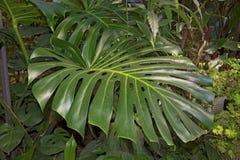 Beautiful green leaves, juicy Greens. Botanical Garden Stock Images