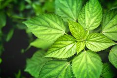Beautiful of green leaves with lighting in the morning,Natural space background Stock Photography