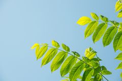 Beautiful green leaves of a manchurian nut in sunlight against a. Beautiful large green leaves of a manchurian nut in sunlight against a blue sky Stock Images