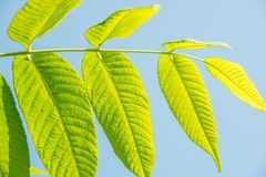 Beautiful green leaves of a manchurian nut in sunlight against a. Beautiful large green leaves of a manchurian nut in sunlight against a blue sky Stock Image