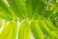 Beautiful green leaves of a manchurian nut in sunlight against a. Beautiful large green leaves of a manchurian nut in sunlight against a blue sky Royalty Free Stock Photography