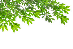 Free Beautiful Green Leaves On White Background Stock Photography - 94780792
