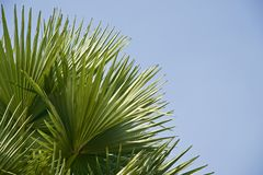 Green leaves of a palm tree unique photo. Beautiful green leaves of a palm tree with blue sky background photo unique royalty free images stock photography