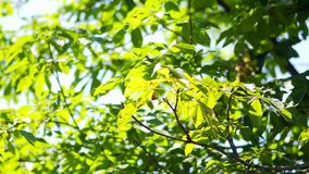Beautiful green leaves and red berries on the tree stock video footage