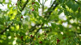 Beautiful green leaves and red berries on the tree stock footage