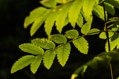 Beautiful green leaves in the sunlight. Stock Image