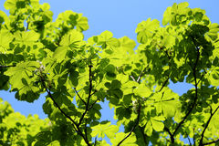 Beautiful green leaves of the tree Royalty Free Stock Photo