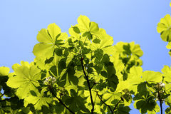 Beautiful green leaves of the tree Royalty Free Stock Images