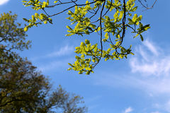 Beautiful green leaves of the tree Stock Photography