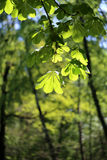 Beautiful green leaves of the tree Royalty Free Stock Photos