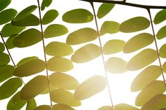 Beautiful green leaves on a twig and sunlight in foret. royalty free stock images