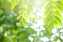 Beautiful green leaves on a twig and sunlight in foret. royalty free stock image