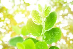 Beautiful green leaves on a twig and sunlight in foret. stock photo